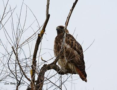 Red-tailed Hawk - 3/2/14 - Birding 100 San Diego Bird Festival