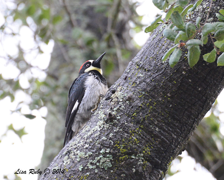 Acorn Woodpecker - 3/2/14 - Birding 100 San Diego Bird Festival