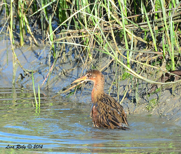 Light-footed Clapper Rail - 3/2/14 - Birding 100 San Diego Bird Festival