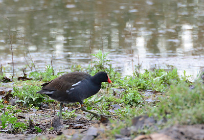 Common Gallinule - 3/2/14 - Birding 100 San Diego Bird Festival
