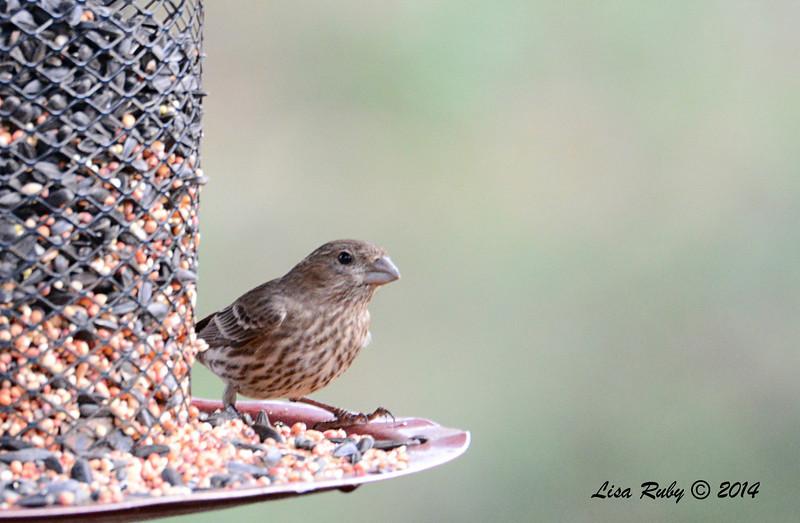 Female House Finch - 3/2/14 - Birding 100 San Diego Bird Festival