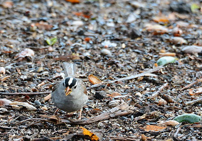 White-crowned Sparrow - 3/2/14 - Birding 100 San Diego Bird Festival