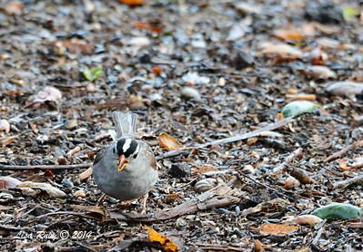 White-crowned Sparrow - 3/2/14 - Birding 100 San Diego Bird Festival