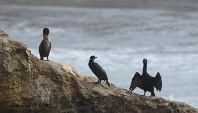 Double-crested Cormorant, Brandt's Cormorants - 3/2/14 - Birding 100 San Diego Bird Festival