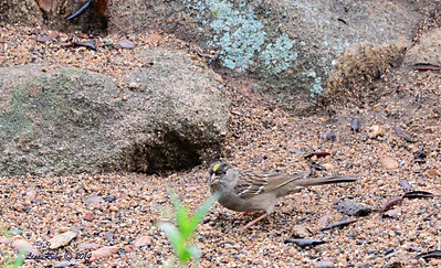 Golden-crowned Sparrow - 3/2/14 - Birding 100 San Diego Bird Festival