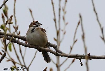 Lark Sparrow - 3/2/14 - Birding 100 San Diego Bird Festival