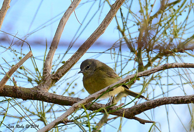 Orange-Crowned Warbler - 2/2/2014 - Roadrunner Club, Borrego Springs