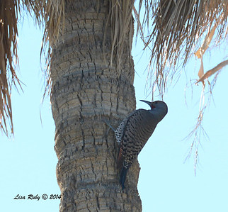 Northern Flicker - 2/2/2014 - Roadrunner club, Borrego Springs