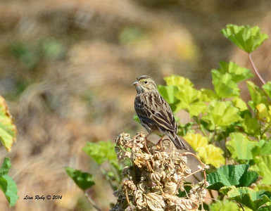 Savannah Sparrow - 2/2/2014 - Borrego Springs settling ponds