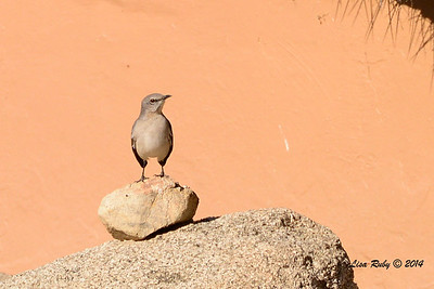 Northern Mockingbird - 2/2/2014 - Roadrunner Club, Borrego Springs