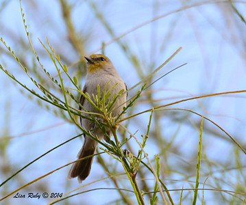 Verdin -  2/2/2014 - Roadrunner Club, Borrego Springs