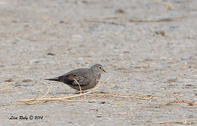 Common Ground Dove - 2/2/2014 - Roadrunner Club, Borrego Springs