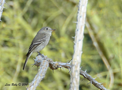 Gray Flycatcher - 2/2/2014 - Casa Del Zorro, Borrego Springs