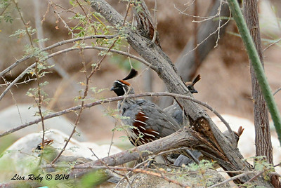 Gambel's Quail - 7/27/2014 - Salton Sea Visitor area