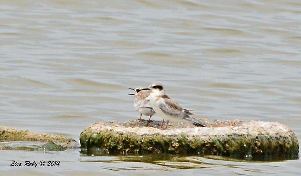 Juvenile Forster's Terns   - 7/27/2014 - Salton Sea