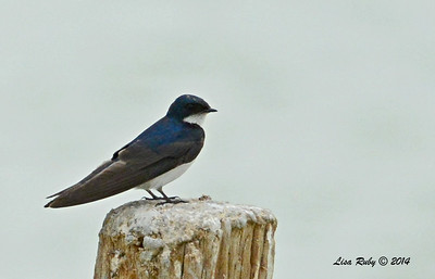 Tree Swallow  - 7/27/2014 - Morton Bay, Imperial Valley