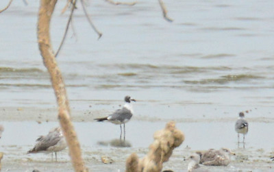 Really bad far off photo of two Laughing Gulls  - 7/27/2014 - Salton Sea