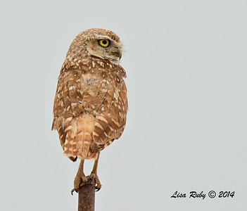 Burrowing Owl - 7/27/2014 - Imperial Valley