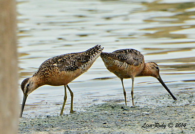 Long-billed Dowitchers -  7/27/2014 - Morton Bay, Imperial Valley