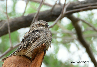 Lesser NIghthawk - 7/27/2014 - Salton Sea Visitor area