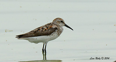 Western Sandpiper - 7/27/2014 - Morton Bay, Imperial Valley