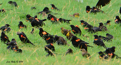 Red-winged and Yellow-headed Blackbirds - 7/27/2014 - Imperial Valley