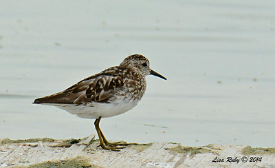 Least Sandpiper - 7/27/2014 - Morton Bay, Imperial Valley