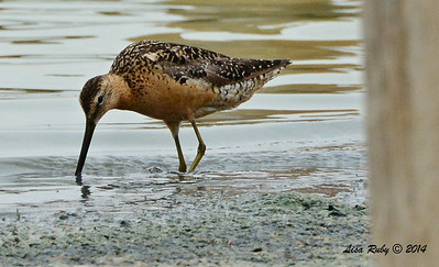 Long-billed Dowitcher  - 7/27/2014 - Morton Bay, Imperial Valley