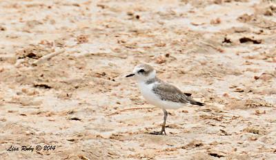Snowy Plover   - 7/27/2014 - Salton Sea