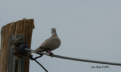 Eurasian Collard Dove - 7/27/2014 - Carter and Fites area Imperial Valley