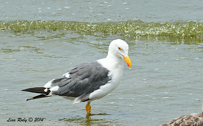Yellow-footed Gull   - 7/27/2014 - Salton Sea