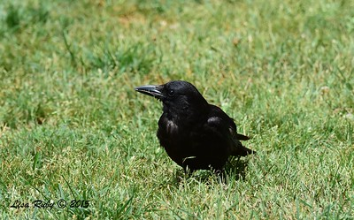 Crow (Juvenile maybe?) - 6/13/2015  - Kit Carson Park