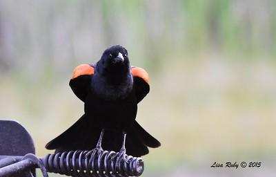 Red-winged Blackbird - 6/13/2015 - Kit Carson Park
