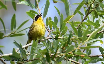 Common Yellowthroat - 6/13/2015 - Kit Carson Park