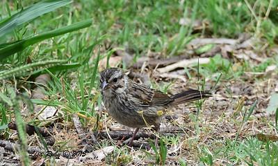 Juvenile Song Sparrow - 6/13/2015 - Kit Carson Park