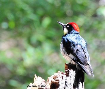 Acorn Woodpecker, Cibbet Campground. During Kitchen Creek trip. 5/26/13