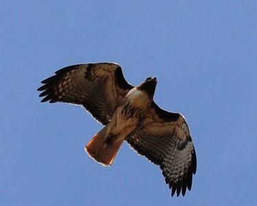 Red-Tailed Hawk. Kitchen Creek. 5/26/13