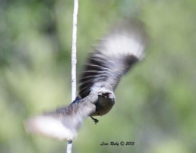 Female Phainopepla. Kitchen Creek. 5/26/13.