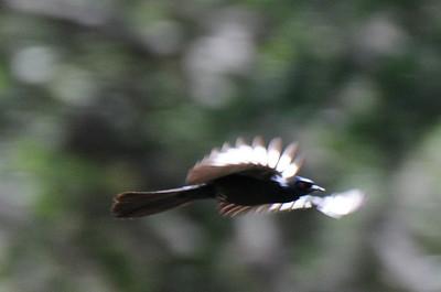 Male Phainopepla. Kitchen Creek. 5/26/13