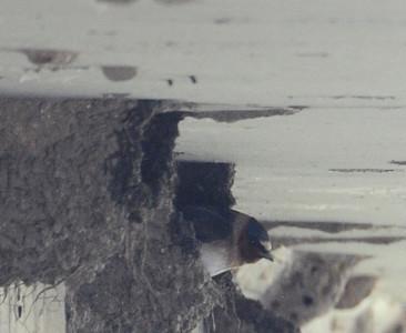 Cliff Swallow Nest. Kitchen Creek. 5/26/13