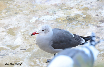 Heerman's Gull - 12/1/13 - La Jolla Cove
