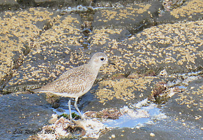 Black-bellied Plover - 12/1/13 - La Jolla Cove