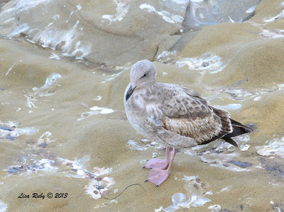 First Winter Western Gull - La Jolla Cove - 12/1/13