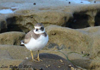 Semi-palmated Plover - 12/1/13 - La Jolla Cove