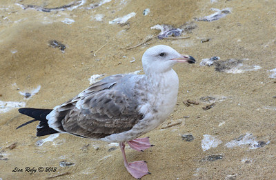 Second Winter Western Gull - 12/1/13 - La Jolla Cove