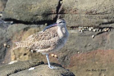 Whimbrel - 12/1/13 - La Jolla Cove