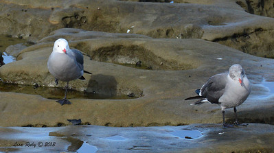 Heermann's Gull - 12/1/13 - La Jolla Cove