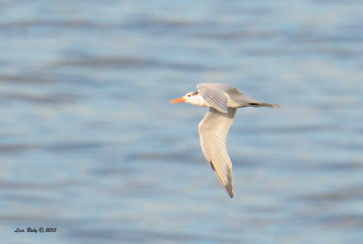 Royal Tern - 12/1/13 - La Jolla Cove