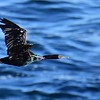 Pelagic Cormorant  - La Jolla Cove - 12/3/2016