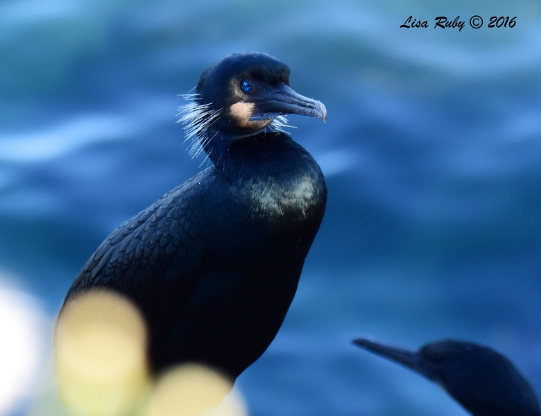 Brandt's Cormorant - 12/4/206 - La Jolla Cove